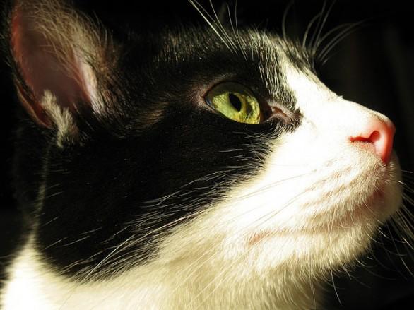 Come Pulire Gli Occhi E Le Orecchie Del Gatto