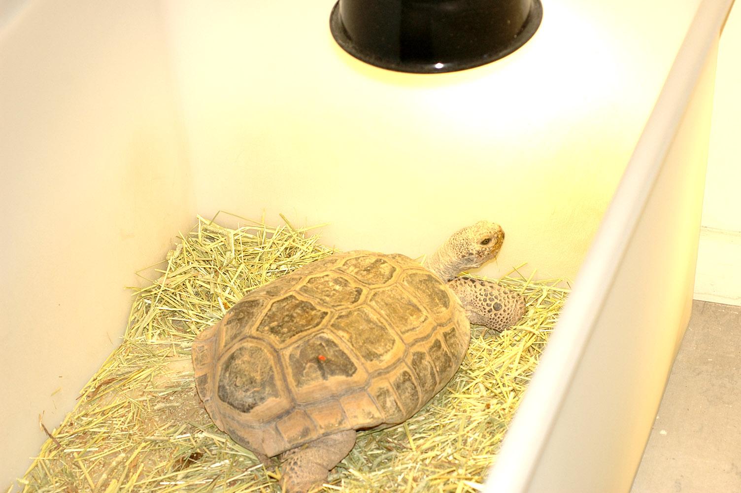 Come aiutare una tartaruga che si sveglia in anticipo dal for Letargo tartarughe acqua